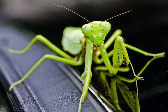 Portrait Of A Praying Mantis