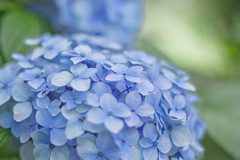 Blue hydrangea (bambooland) Tags: flowers blue plant green nature colors japan canon 50mm tokyo soft dof bokeh pastel f14 hydrangea