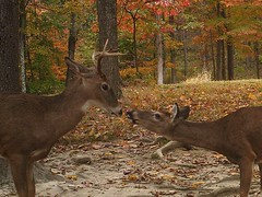 Whitetails Kissing (ThePoppa) Tags: autumn fall leaves deer does bucks whitetail foodplot