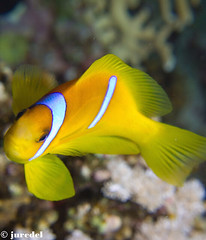 Nemo 2 (juredel) Tags: red sea wallpaper fish macro pen wow flickr underwater nemo redsea egypt diving olympus clownfish diver egypte fonddcran nemofish papierpaint epl1 mygearandme ringexcellence juredel flickrandroidapp:filter=none