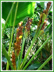 Flowering Calathea lutea (Cuban/Havana Cigar) at Felda Residence Hot Springs in Sungkai