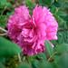 イザヨイバラ(Rose Roxburghii)