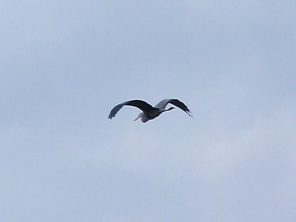 27-10-2011-grey-heron-flight9