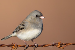 Dark-eyed Junco DSC_6906 by Mully410 * Images
