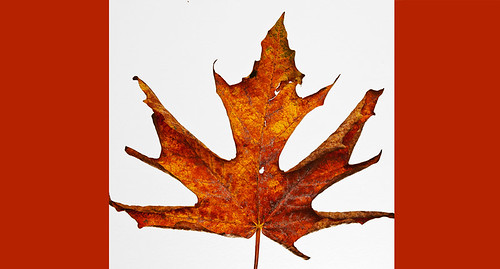 Canada Leaf  by petetaylor