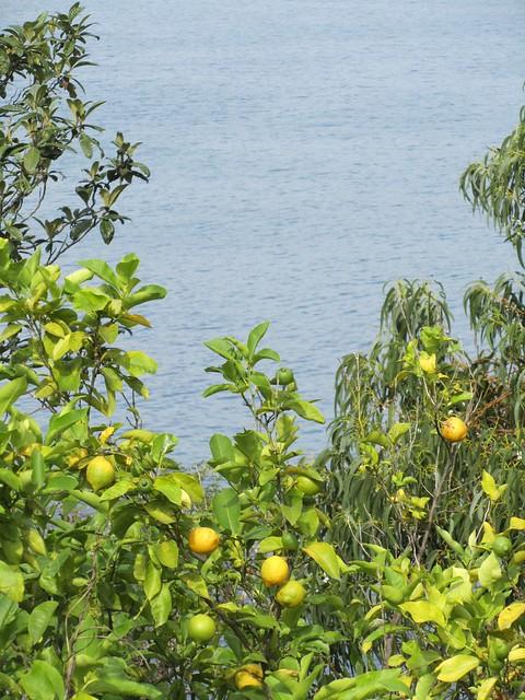 Sea Lemons