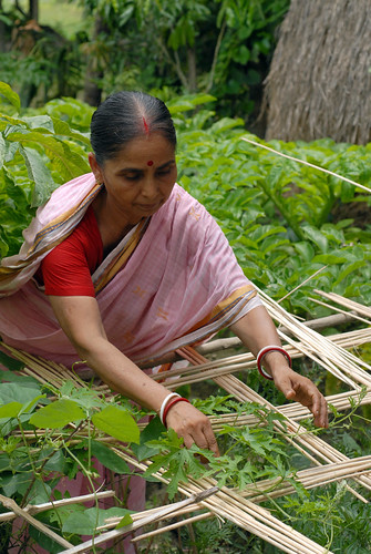 Collecting vegetables from the garden, Bangladesh. Photo by WorldFish, 2006