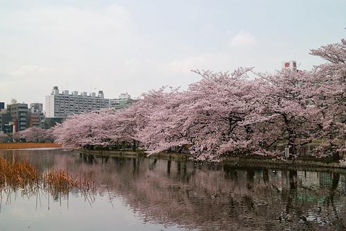 Cheery Blossoms by the Shinobazu (Ueno, Tokyo, Japan)