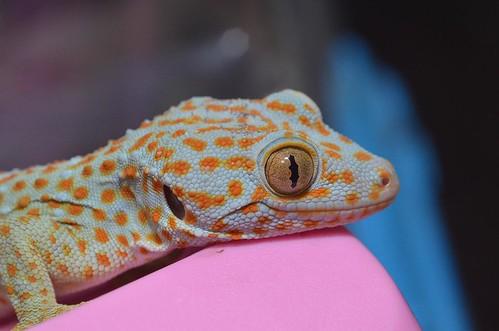 分布於中國、印度與東南亞的大守宮(Gekko gecko)叫聲宏亮,繁殖季節會發出類似to-kay的聲音,故英文俗稱Tokay gecko。圖:呂軍逸