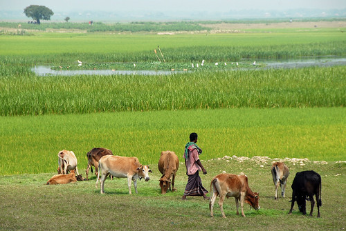 Livestock and fish ponds, Bangladesh. Photo by WorldFish, 2007