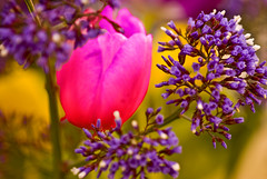 Varietal Bouquet (Pixel Harmonies) Tags: pink flowers blur flower color nature colors spring blossoms violet tulip stalk