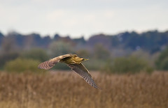 BITTERN at STRUMPSHAW FEN (jdoakey) Tags: