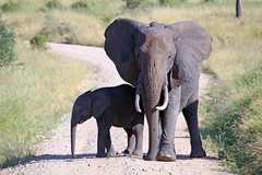Elephants of Tanzania (DragonSpeed) Tags: africa elephant tanzania safari tarangirenationalpark 100400 tropicaltrails