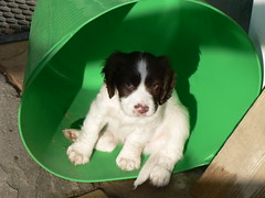 Albus the Springer in a Trug (Howe1634) Tags: old 6 playing cute english puppy sitting spaniel springer weeks albus trug