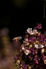 Honey, here I come! (puthoOr photOgraphy) Tags: flowers floral flora bee honey dk honeybee doha lightroom flowermacro dohaqatar d90 adobelightroom tokina100mm28 nikond90 tokina100mmf28atxprod lightroom3 amazingqatar puthoor gettyimagehq