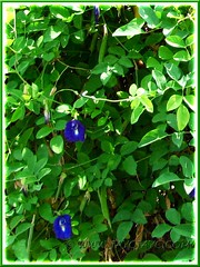 Flowering Clitoria ternatea (Butterfly Pea, Blue Pea Vine, Asian Pigeonwings) with young green seedpods