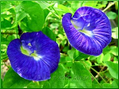 Striking royal blue flowers of Clitoria ternatea (Butterfly Pea, Blue Pea Vine, Asian Pigeonwings)