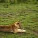 The Napping Lioness of Maasai Mara