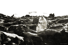 Lava Wolf (Ggja Einars..) Tags: wild summer white nature beautiful animals canon lava iceland wolf europe soft spirit free traveling hotspring magical bluelagoon nttra icelandic hestur gigja einarsdottir gigjaeinarsdottir
