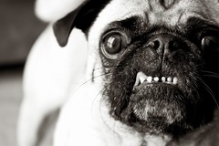 Gray Beard. (WeeLittlePiggy) Tags: dog puppy pug pork ldlportraits