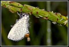 """""""Bumpy in white, yet elegant"""" (MHTashrif) Tags: winter colour macro bug fly drops amazing little earlymorning dew tiny colourful macrophotography kitlens1855mm"""