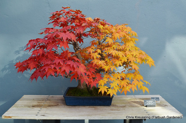 Acer palmatum, Group-style Bonsai, BBG