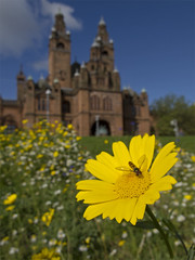 Wildflowers and Hoverfly at Kelvingrove (Cath Scott) Tags: park wild urban flower art nature yellow museum corn gallery meadow wildflower marigold kelvingrove hoverfly qpcc