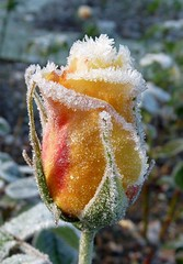 first frost - yesterday morning (Eisgrfin (very busy)) Tags: november rose yellow germany frost hannover gelb stadtpark topshots excellentsflowers natureselegantshots mimamorflowers panoramafotogrfico eisgrfin mygearandme flickrsportal ringexcellence