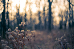 winter draws near... (tumbleweed.in.eden) Tags: bokeh clintonlake puffflowers mymissionbayboostpreset