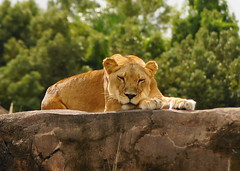 Beauty sleep (SurfTripper) Tags: nature animals outdoor sony lion flickraward holycreationsofnature hennysanimals slta33 bbng
