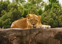 Beauty sleep (SurfTripper) Tags: nature animals outdoor sony lion flickraward holycreationsofnature hennysanimals slta33 bbng