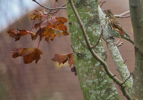 Redwing by Kinzler Pegwell