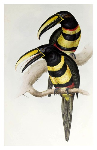 007- Araçari de muchas bandas-A monograph of the Ramphastidae or family of Toucans-1834- John Gould