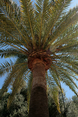 Gibraltar April 2011 120 (Ian Clarke) Tags: tree garden leaf palm trunk alameda gibraltar gibraltarapril2011