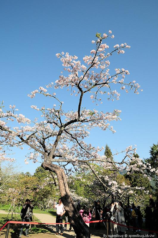 阿里山櫻花季70