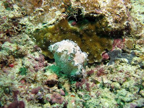 タヌキイロウミウシ (Glossodoris hikuerensis)