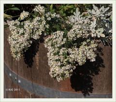 Aster pansus 'Snow Flurry' 2011-10 (Brigitte Rieser) Tags: garden flora garten asteraceae niederösterreich loweraustria staude herbaceousperennial klasseimgarten