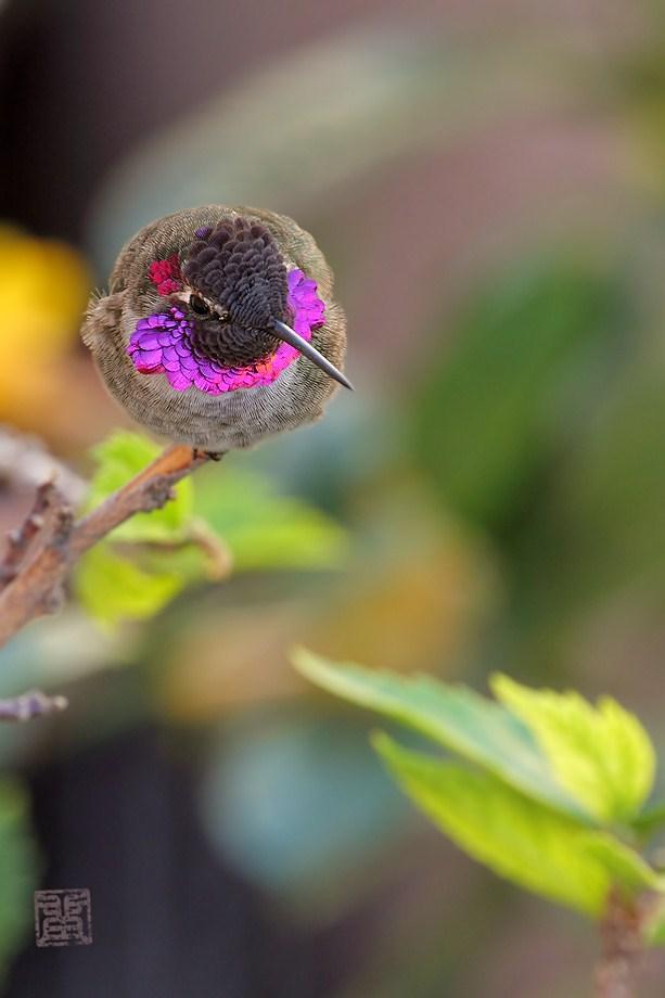Anna's Hummingbird100611-1