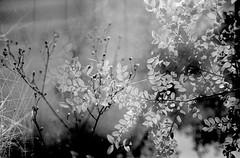 illusion & dream (Super G) Tags: california blackandwhite bw film 35mm doubleexposure nikonn80 bouldercreek selfdeveloped bwart trix400tx autaut 50mmf8 bwfp d7610min68d