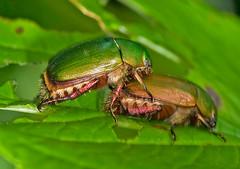 Amorous Scarabs, Anomala rufocuprea, ヒメコガネ (aeschylus18917) Tags: danielruyle aeschylus18917 danruyle druyle ダニエルルール ダニエル ルール japan 日本 nikon d700 nikond700 nature macro nerima 練馬区 石神井公園 shakujiikōen insect beetle mating copula 105mmf28gvrmicro 105mmf28 105mm nikkor105mmf28gvrmicro pxt coleoptera scarab コガネムシ scarabaeoidea rutelidae anomalarufocuprea ヒメコガネ