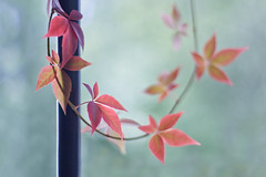 Pole dancers (Lightspectral) Tags: painterly fall nature leaves garden bokeh vine pole foliage atumn wwwpoetryoflightnet parthenocissusquinqengelmannii copyright2013 mariaismanahschulzevorberg koenigswintergermany