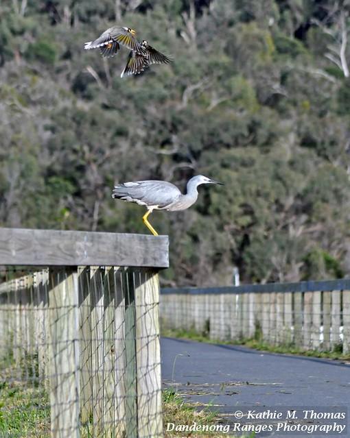 283-365 White-faced Grey Heron and Noisy Minor Birds
