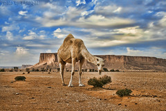 Camel HDR (TARIQ-M) Tags: canonefs1855 riyadh saudiarabia canon400d desert waves landscape camel camels tuwaiqmountains cloud sky hdr