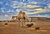 Camel HDR (TARIQ-M) Tags: canonefs1855 riyadh saudiarabia canon400d desert waves landscape camel camels tuwaiqmountains cloud sky hdr كانون المملكةالعربيةالسعودية الرياض الصحراء صحراء صحاري رمل الرمل بر براري جمل جمال ابل نياق ناقة جبلطويق جبالطويق سحب سماء غيم غيوم