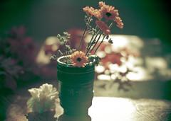 scheherazade (sparkleplenty_fotos) Tags: flowers light shadow kitchen canon table bokeh mug daisy carnation cliche hcs cameralens lightroompreset annagay happyclichesaturday mybirthdaywaslastweek todayisntmybirthday