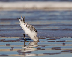 No I don't want my photo taken !!!! (Andrew Haynes Wildlife Images) Tags: bird nature wildlife norfolk nwt sanderling ajh2008