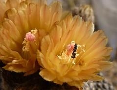 JA50-Eriosyce tenebrica2 (Spiniflores) Tags: grafting injertos pereskiopsis