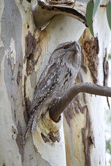 IMG_6865 (lizardstomp) Tags: owls australianbirds tawnyfrogmouths