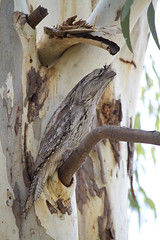 IMG_6857 (lizardstomp) Tags: owls australianbirds tawnyfrogmouths