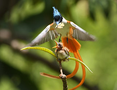 bird of Paradise (zahoor-salmi) Tags: camera pakistan macro nature birds animals canon lens photo tv google flickr natural action wildlife watch bbc punjab wwf salmi walpapers chanals discovry beutty bhalwal zahoorsalmi thewonderfulworldofbirds